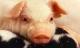 猪的全身都是宝 但这3个部位要少吃