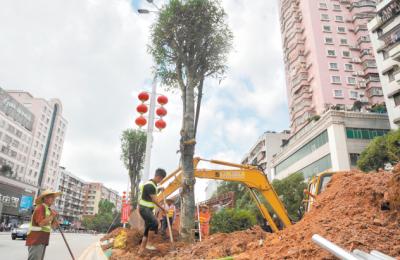 岡州大道中綠化帶升級改造 原有的大王椰更換為扁桃